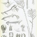 Image of Poaephyllum
