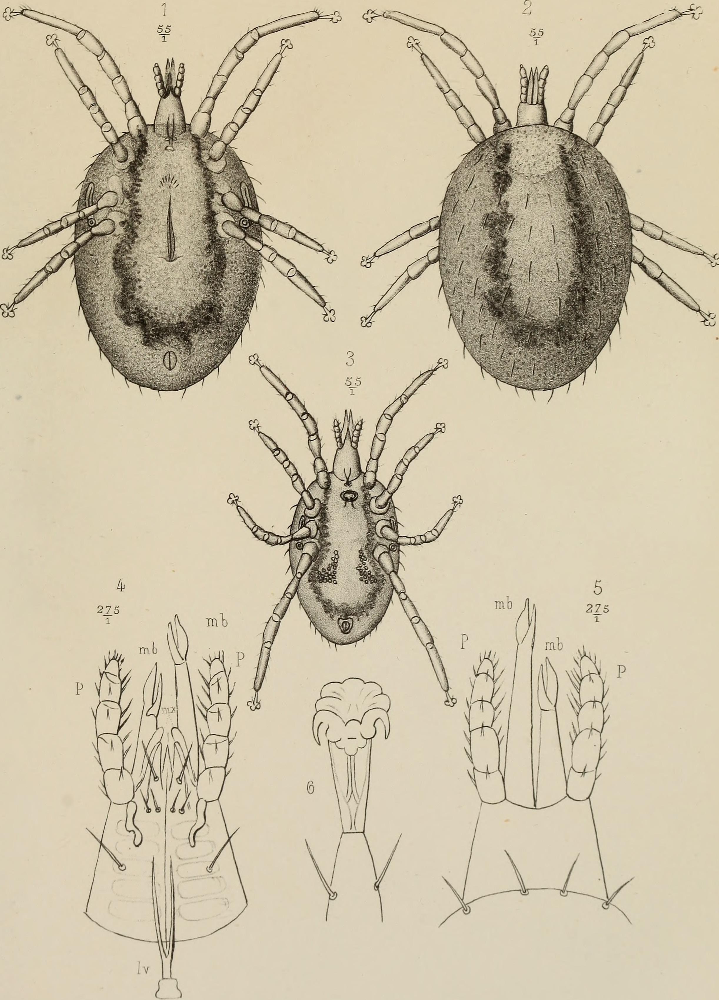 Image of <i>Ophionyssus natricis</i> (Gervais 1844) Gervais 1844