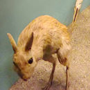Image of Mongolian Five-toed Jerboa