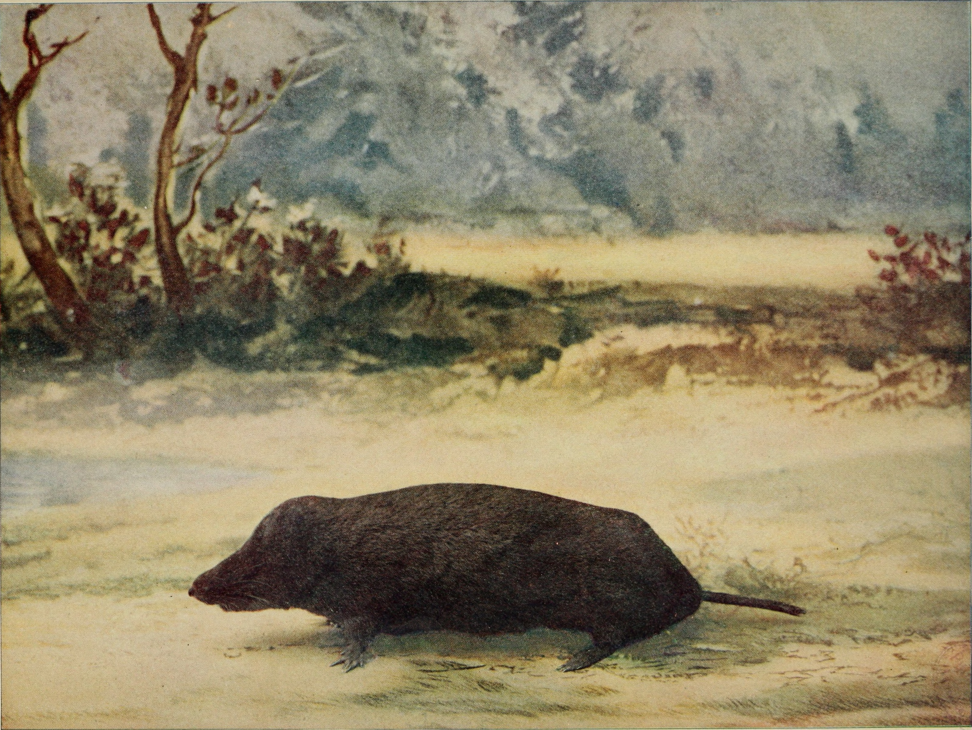 Image of Brewer's mole