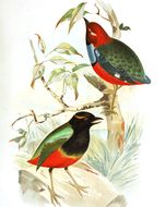 Image of Philippine Pitta