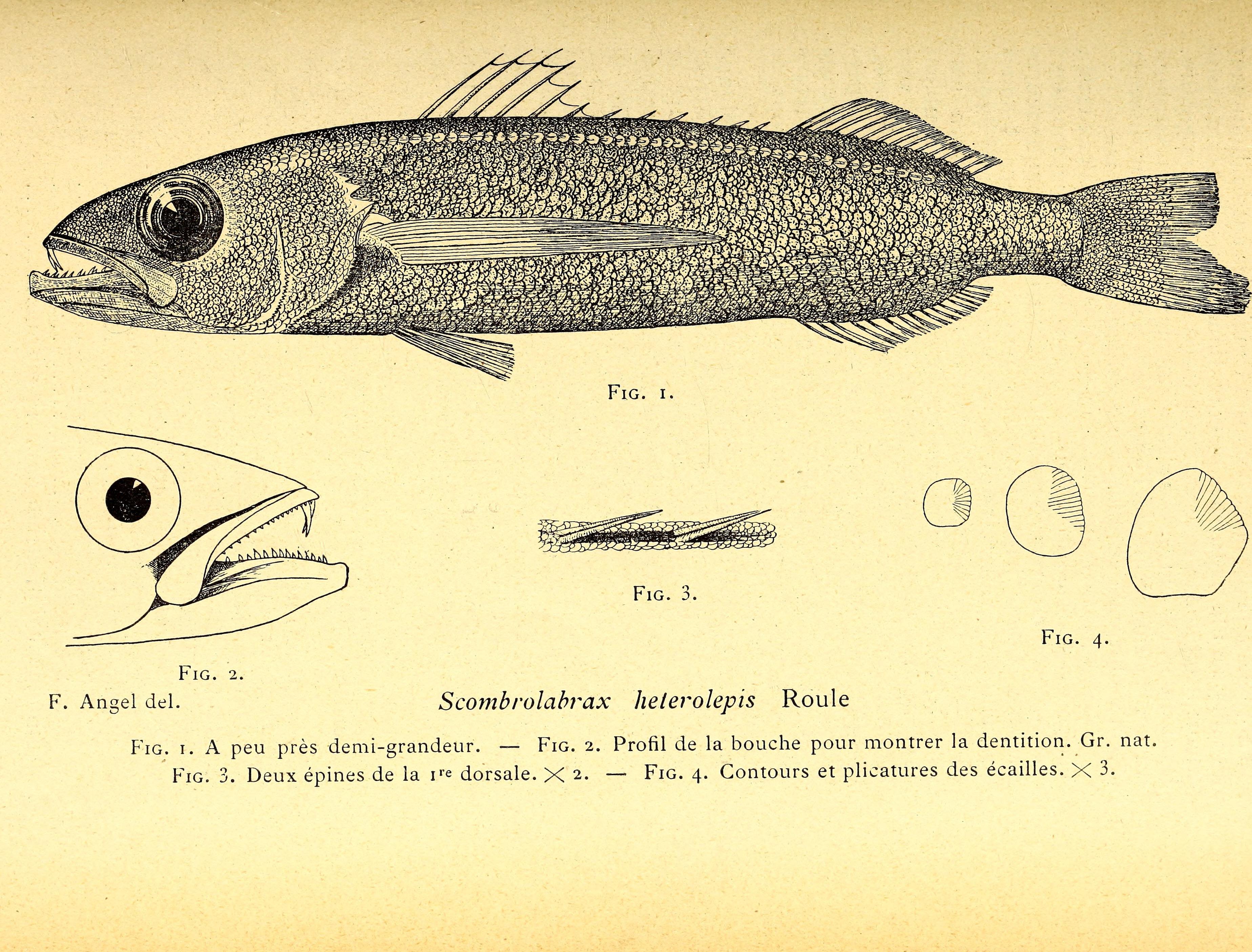 Image of Longfin Escolar