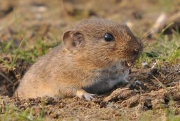 Image of Guenther's Vole