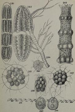 Image of Eudorina