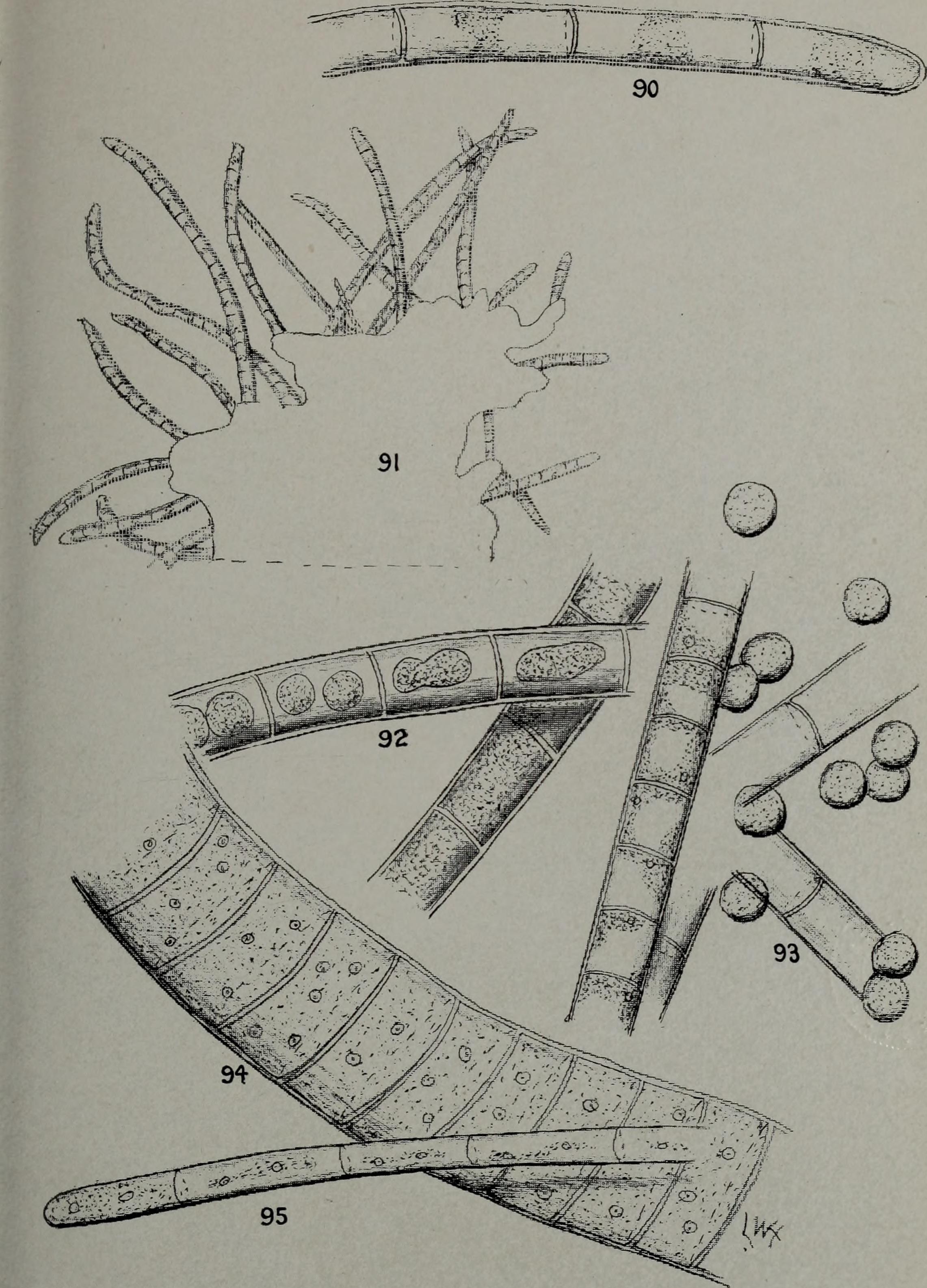 Image of Ulothrix