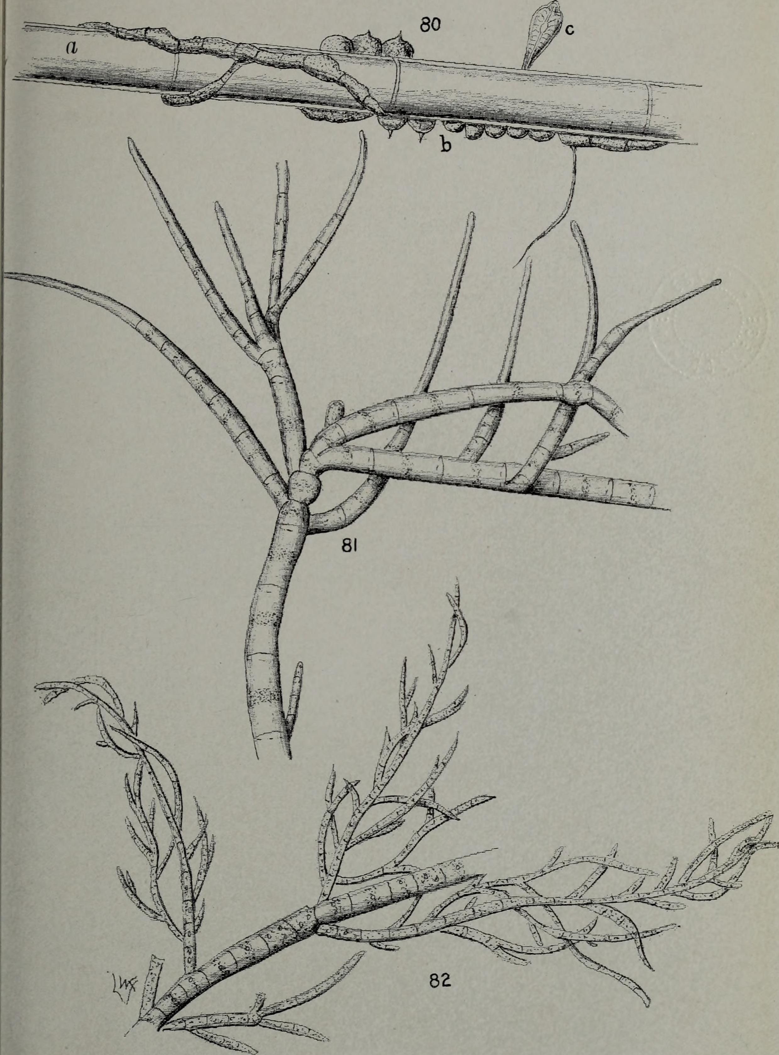 Image of Coleochaete