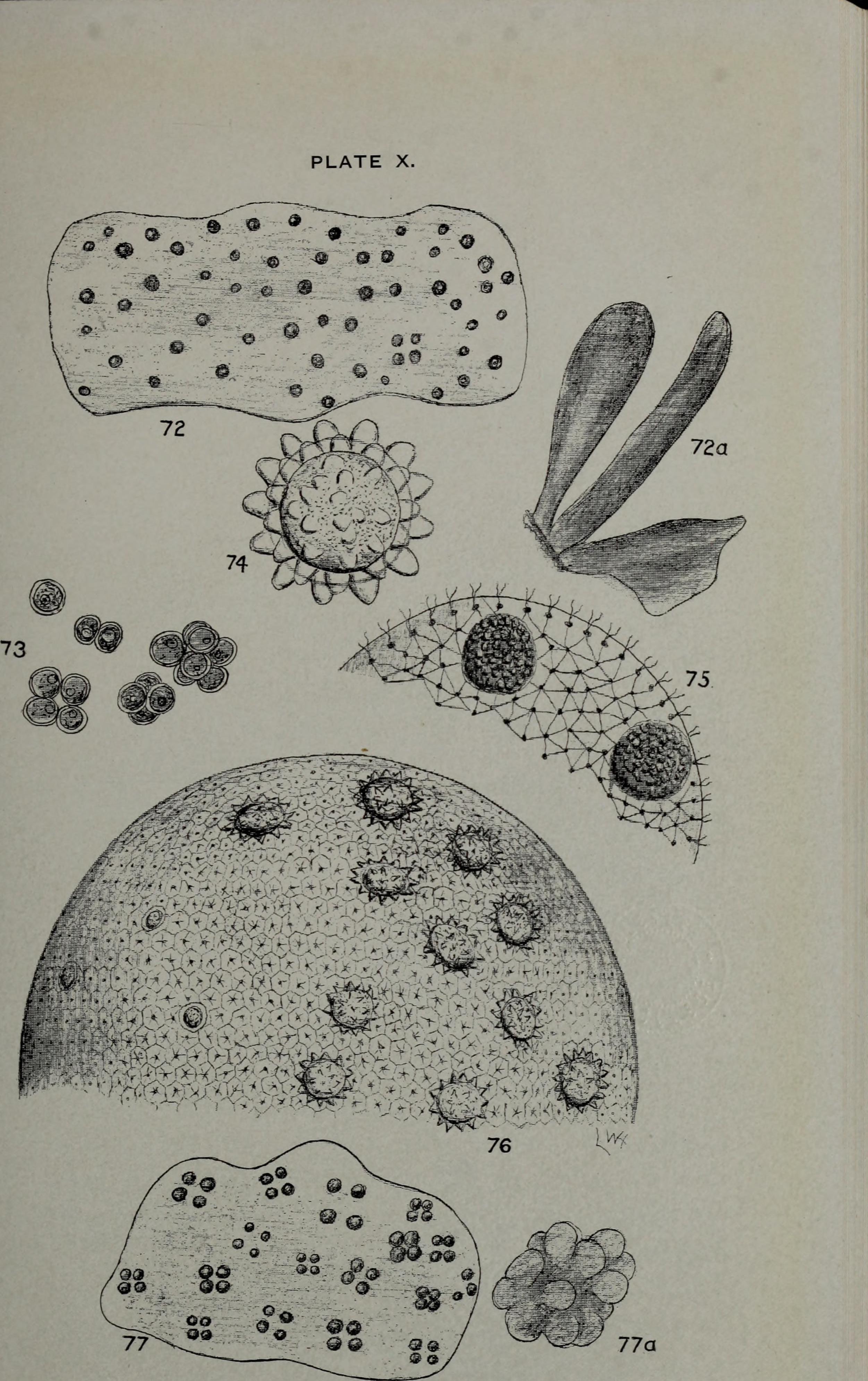 Image of Pleurococcus