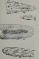 Image of Penium