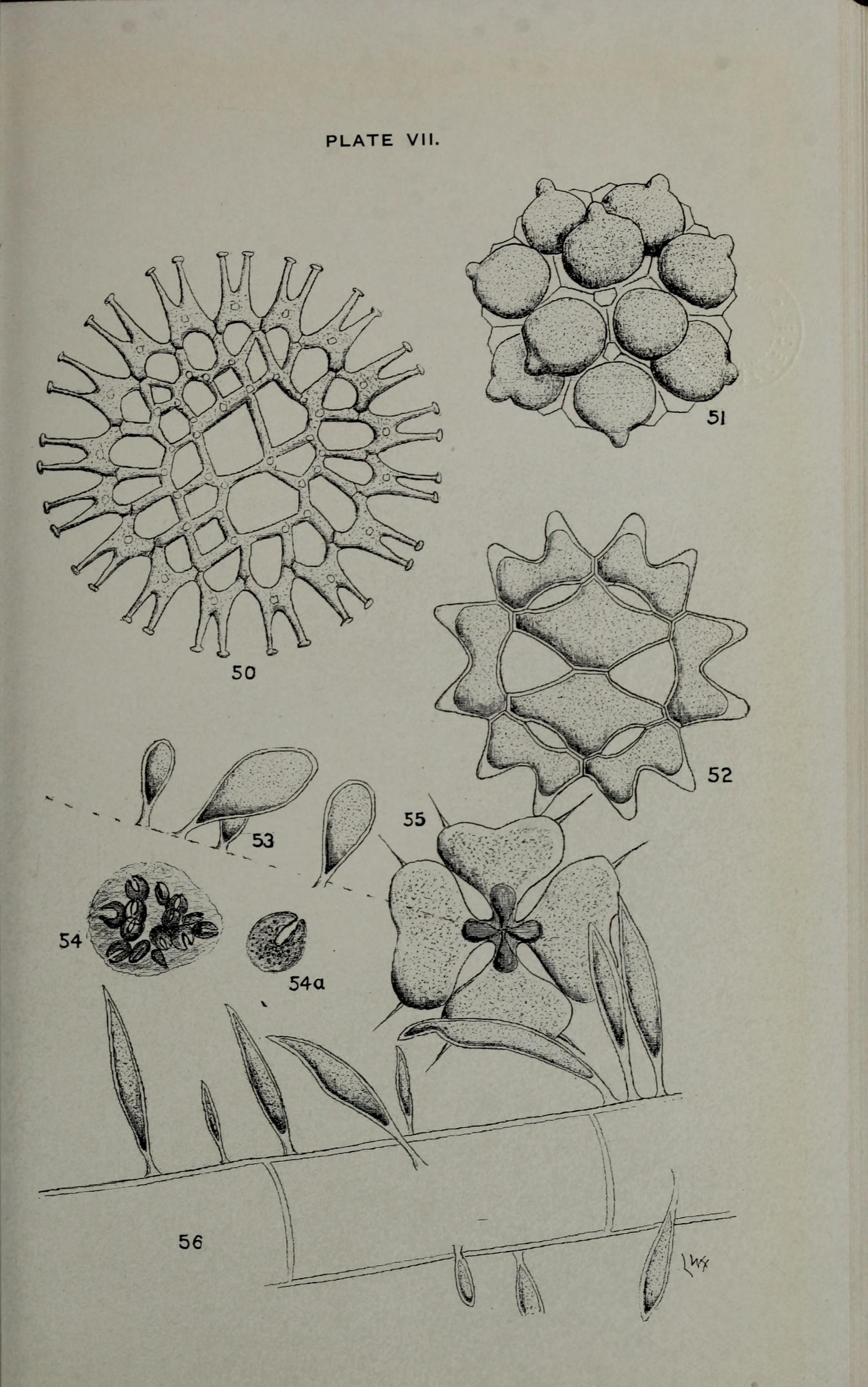 Image of Coelastrum