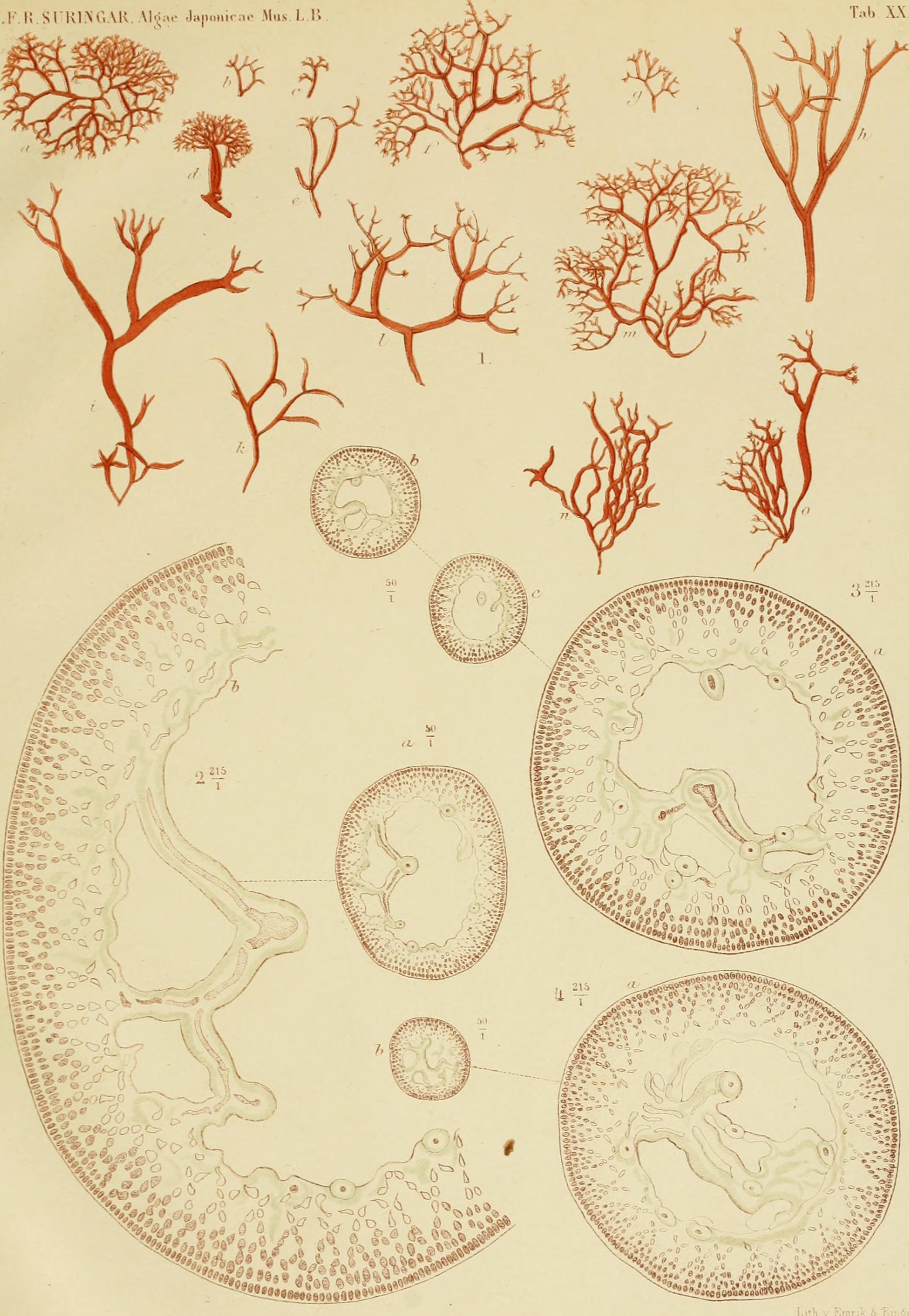Image of <i>Gloiopeltis furcata</i>