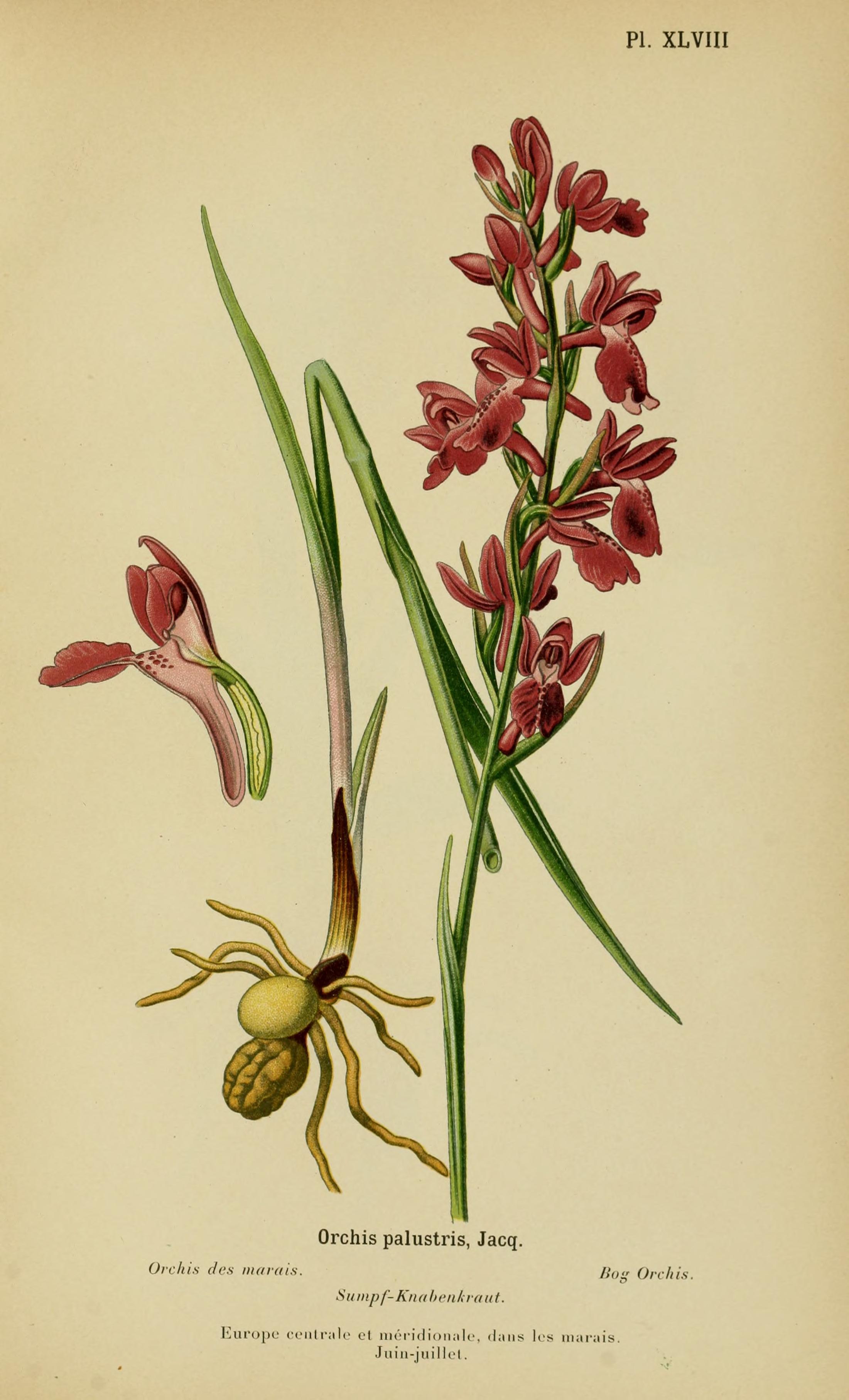 Image of <i>Anacamptis palustris</i> (Jacq.) R. M. Bateman, Pridgeon & M. W. Chase