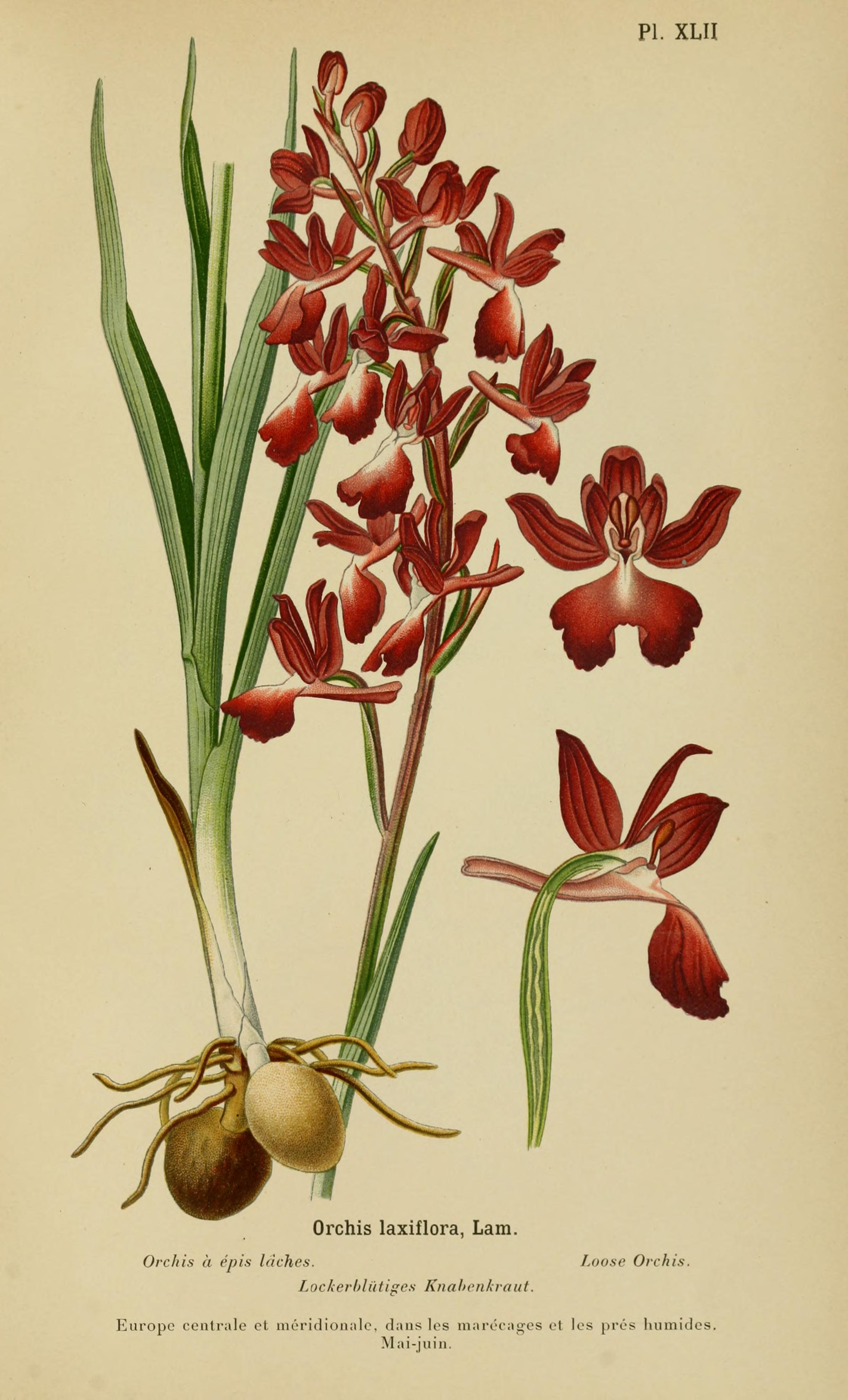 Image of Loose-flowered orchid