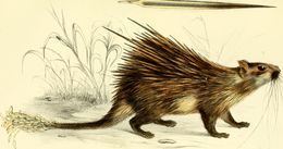 Image of <i>Atherurus africanus</i> Gray 1842