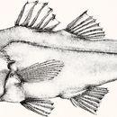Image of Stout cardinalfish