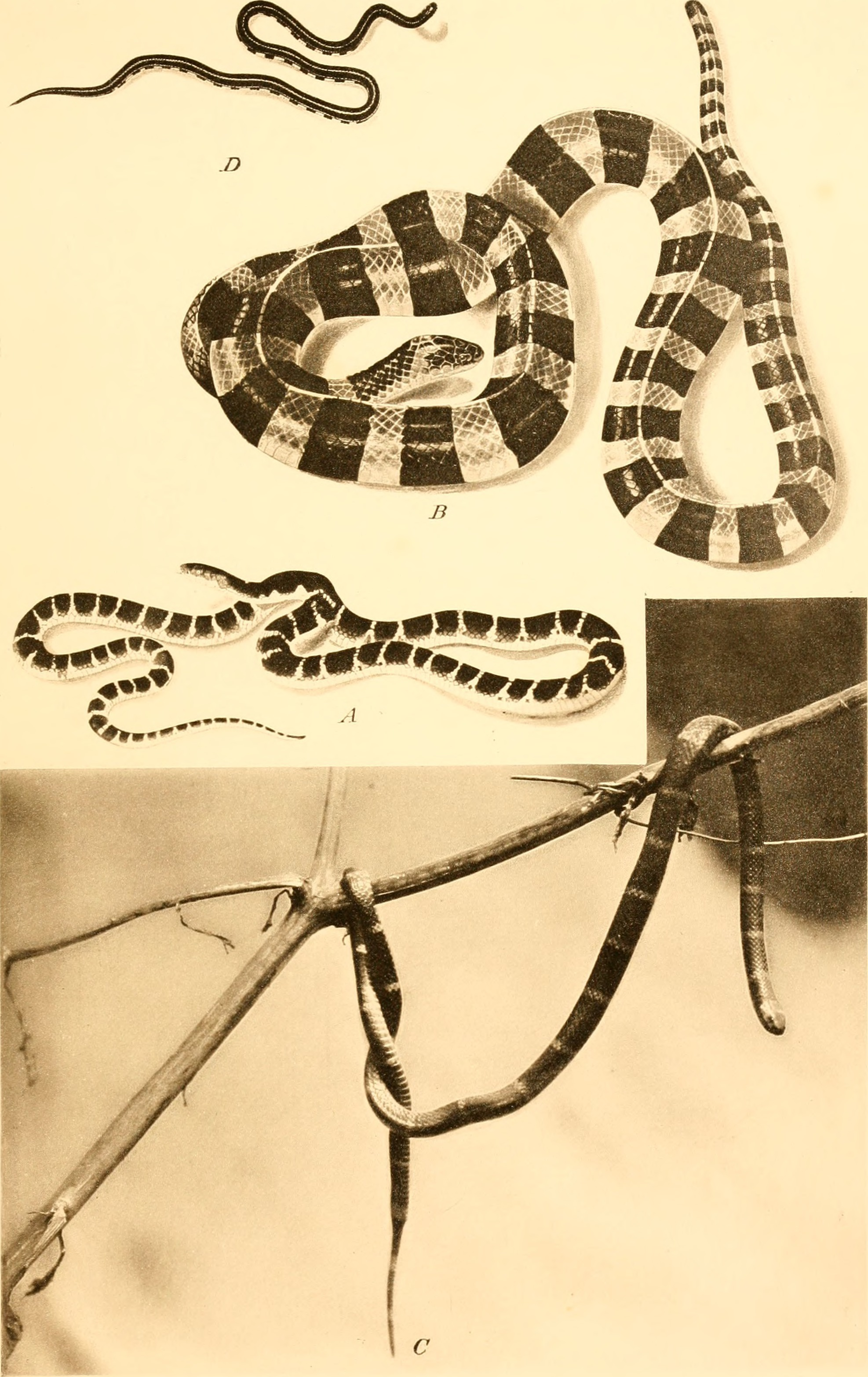 Image of Asian coral snakes