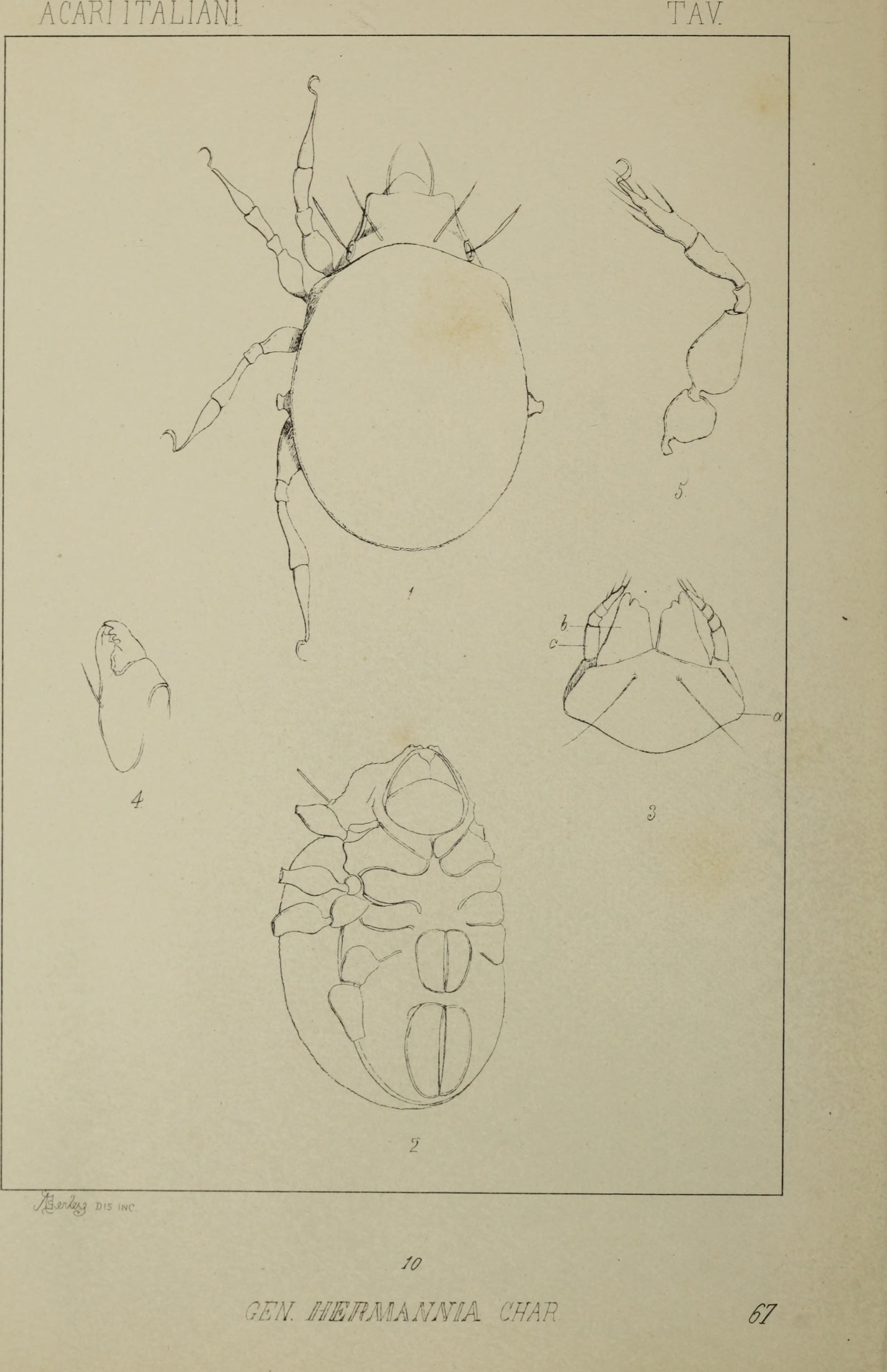 Image of Hermannia