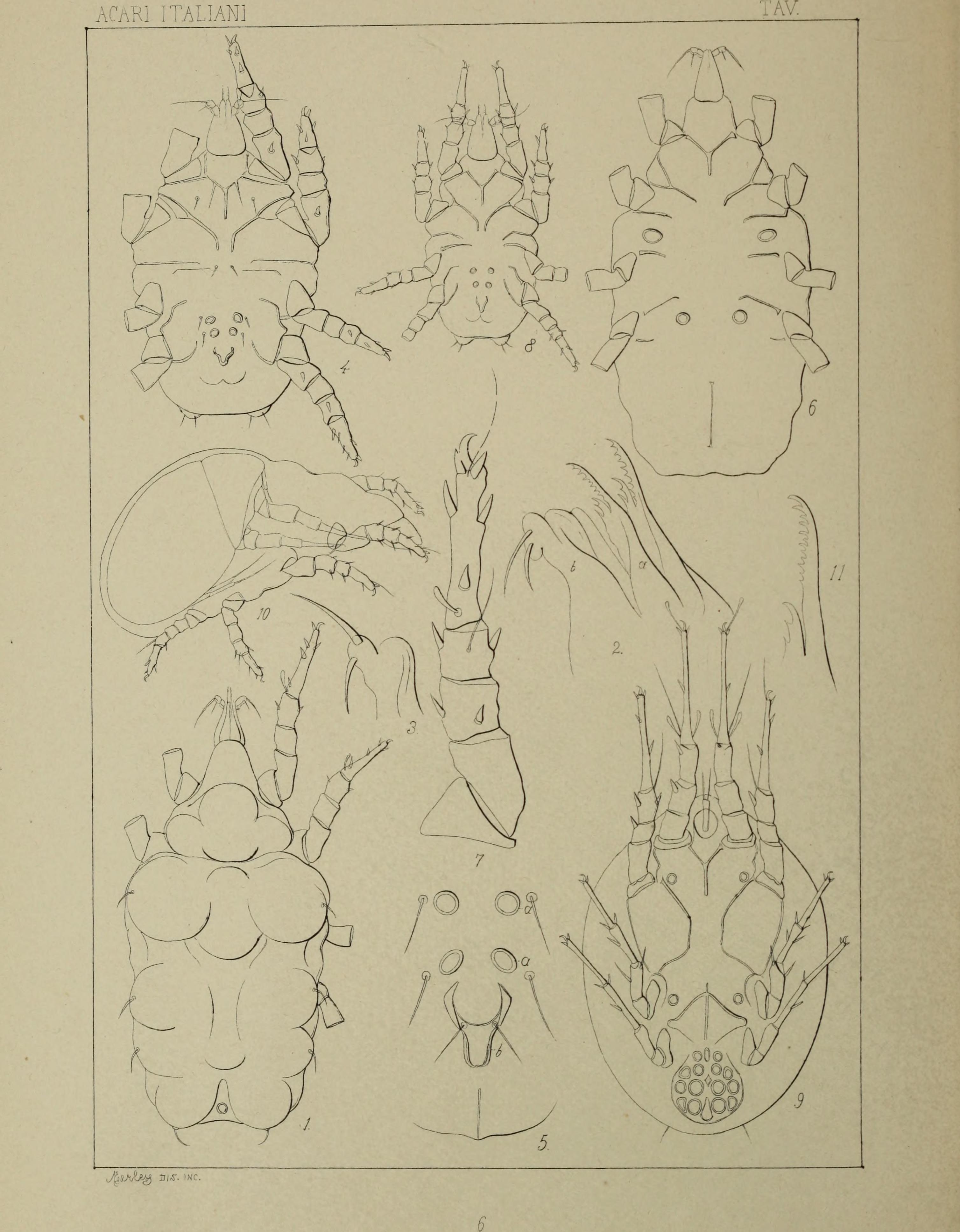 Image of Histiostomatidae