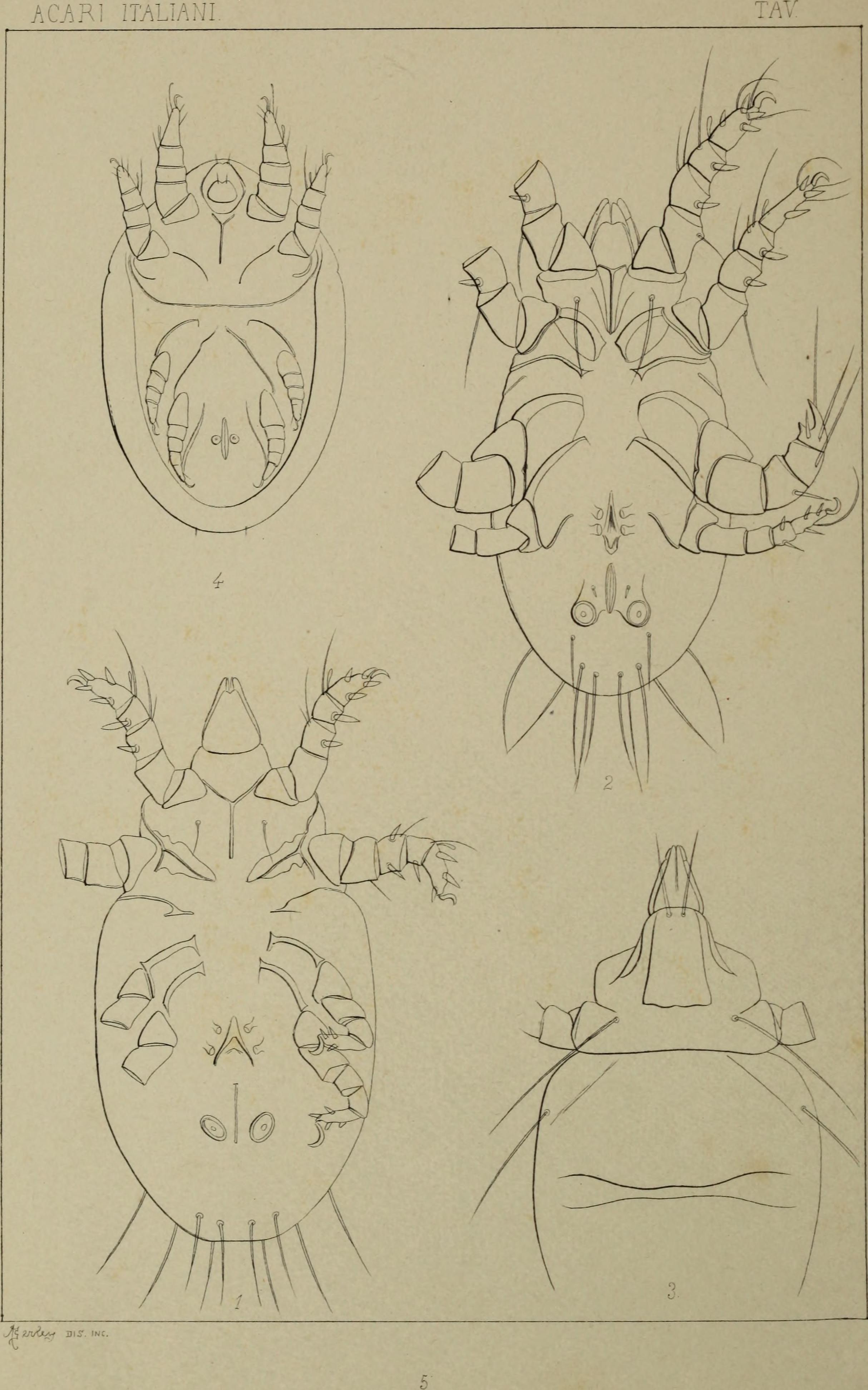 Image of Rhizoglyphus