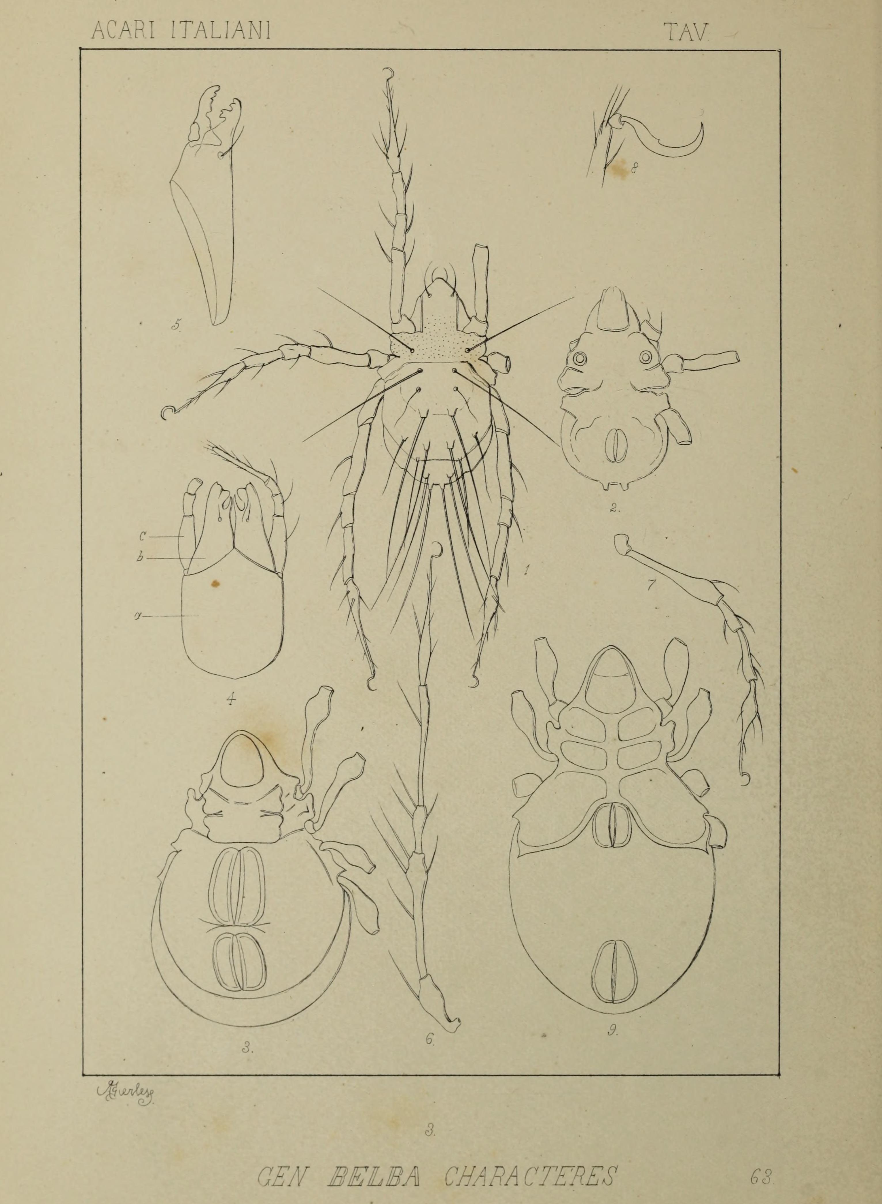 Image of Damaeidae