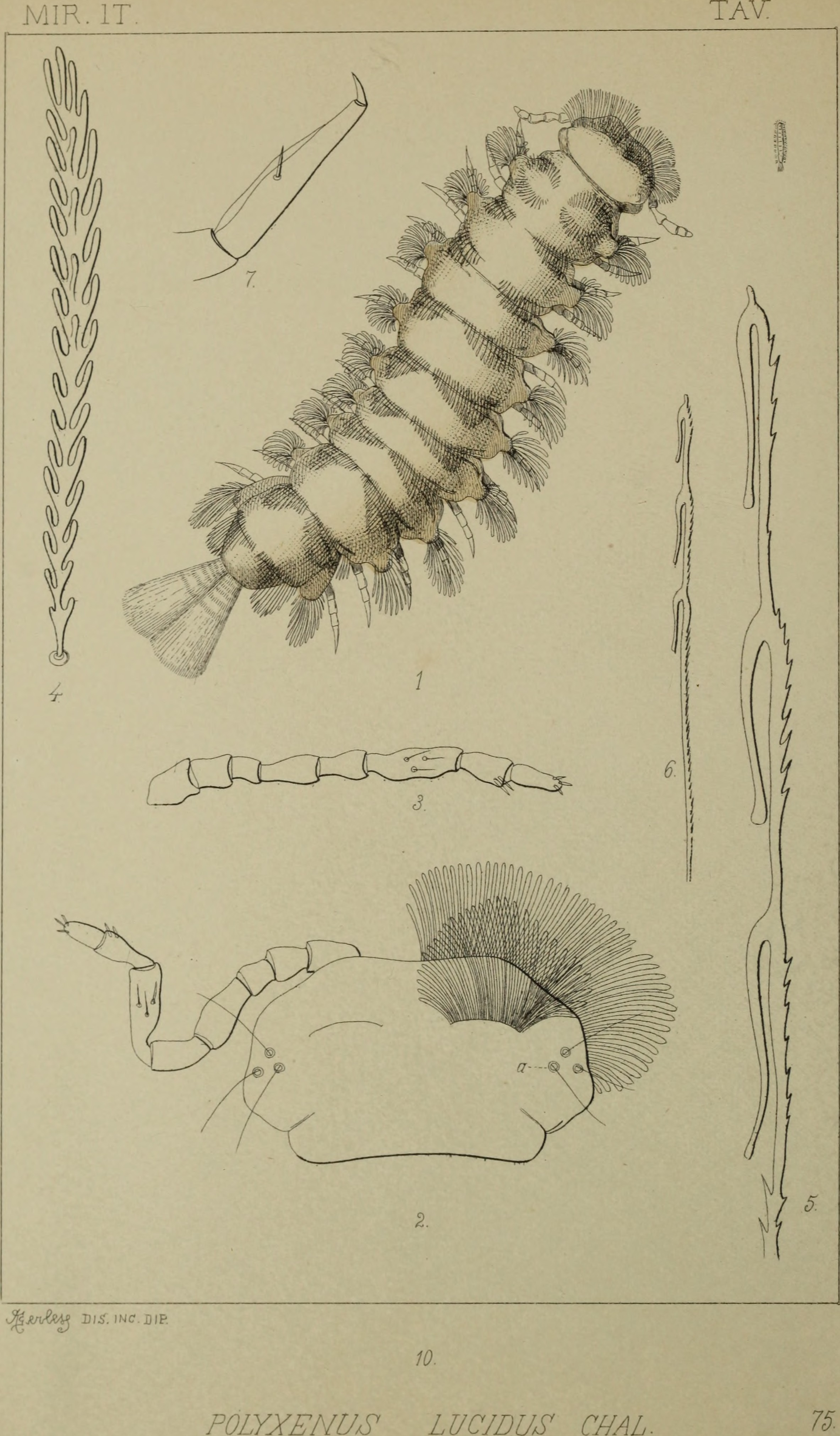 Image of Polyxenus