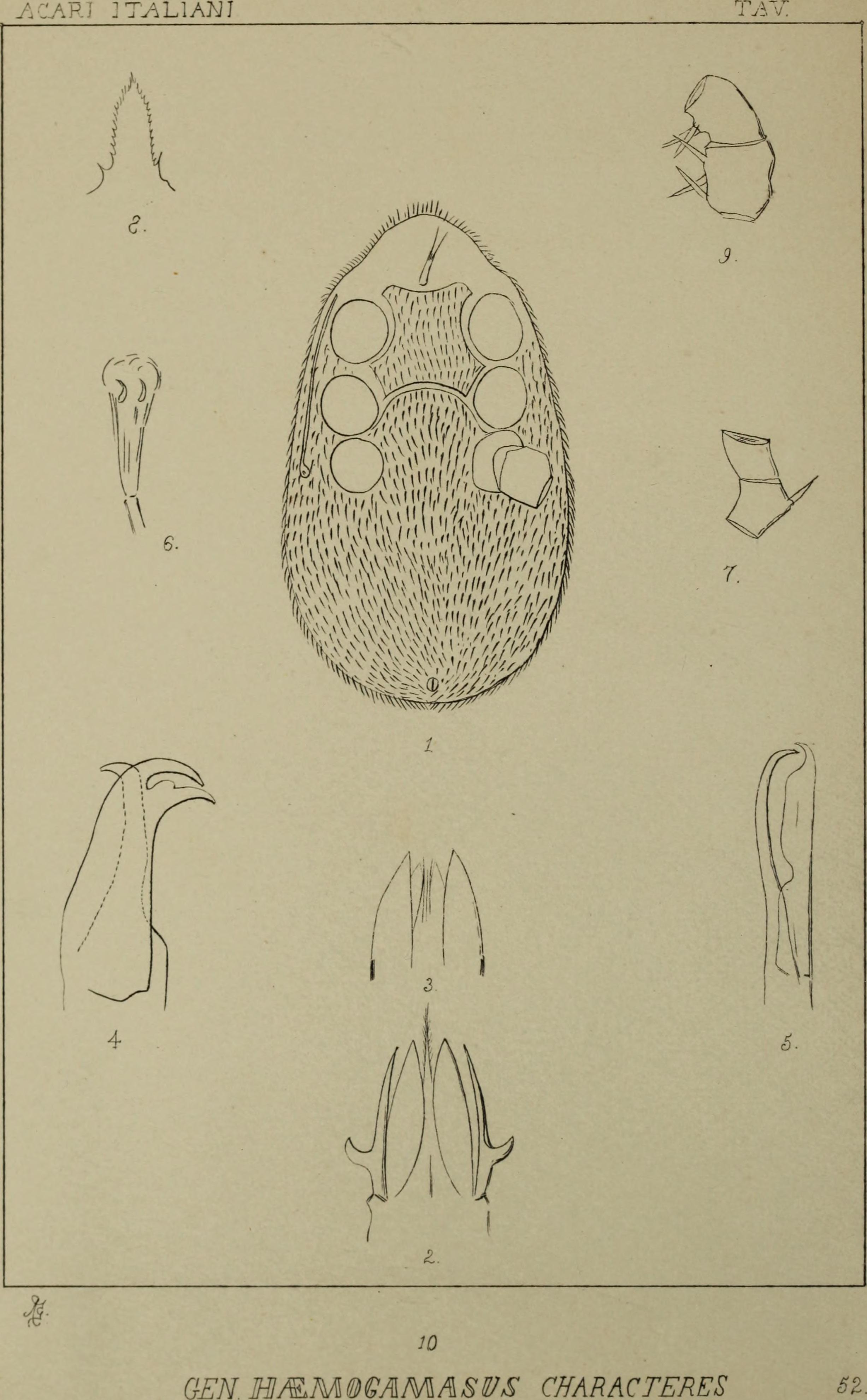 Image of Haemogamasus