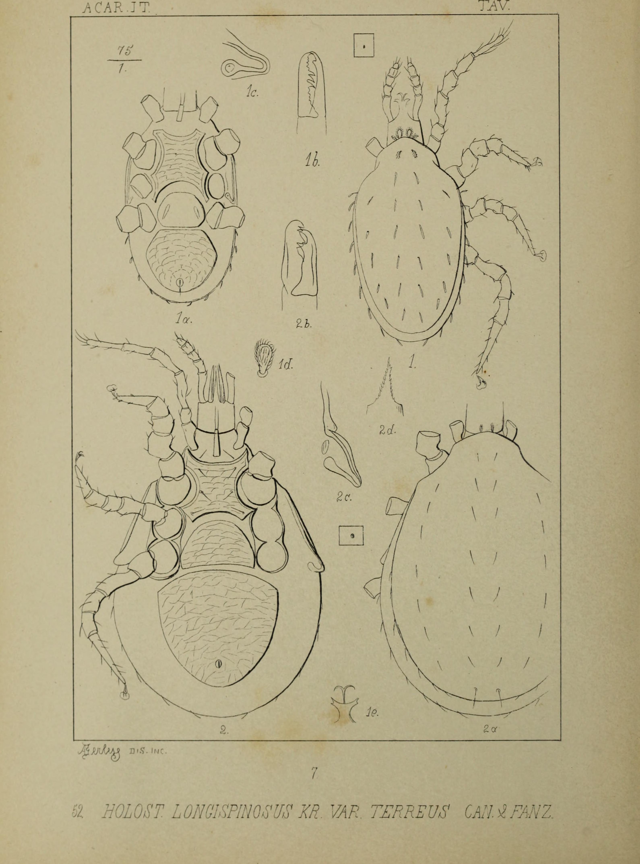 Image of Macrochelidae