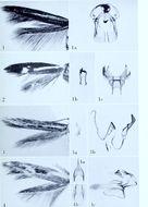 Image of <i>Scythris ejiciens</i> Meyrick 1928