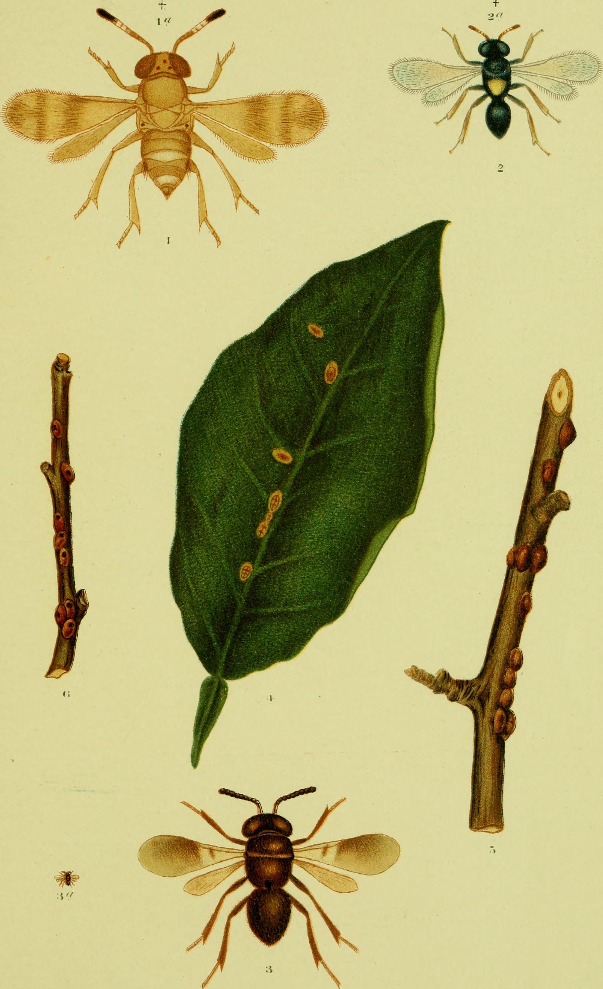 Image de Encyrtidae