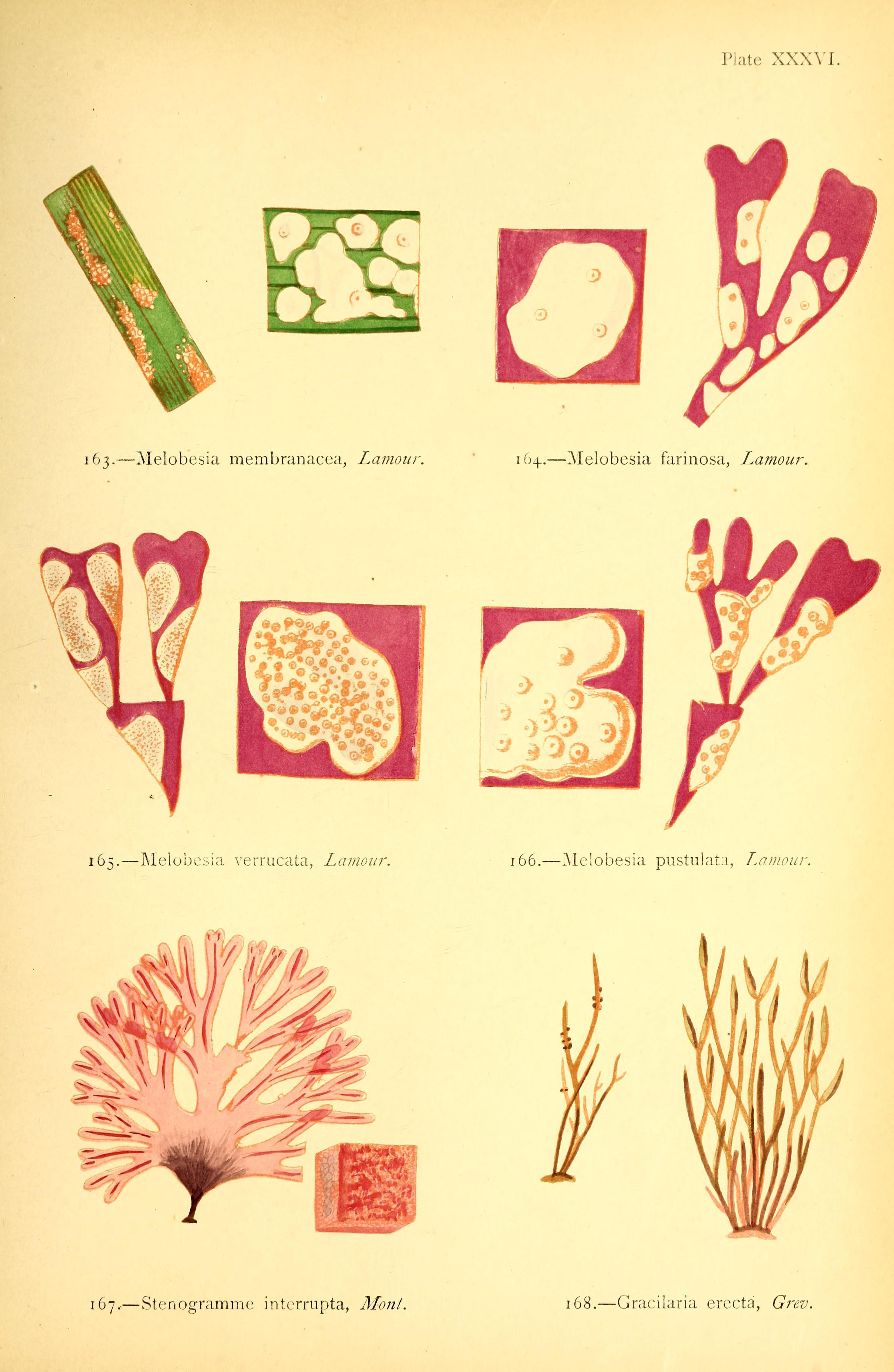Image of <i>Cordylecladia erecta</i>