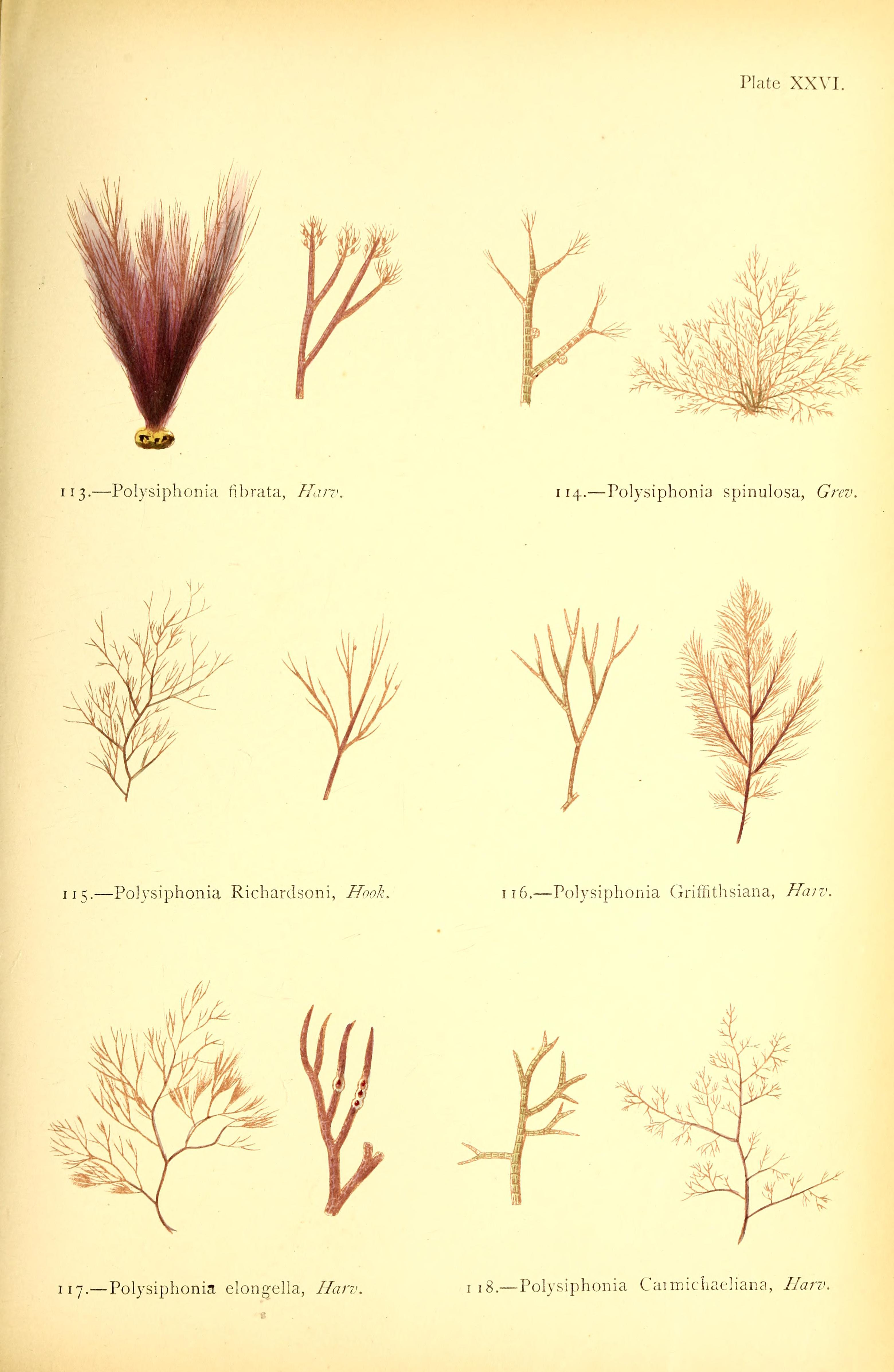 Image of <i>Polysiphonia elongella</i>