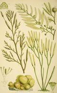 Image of <i>Leathesia marina</i>