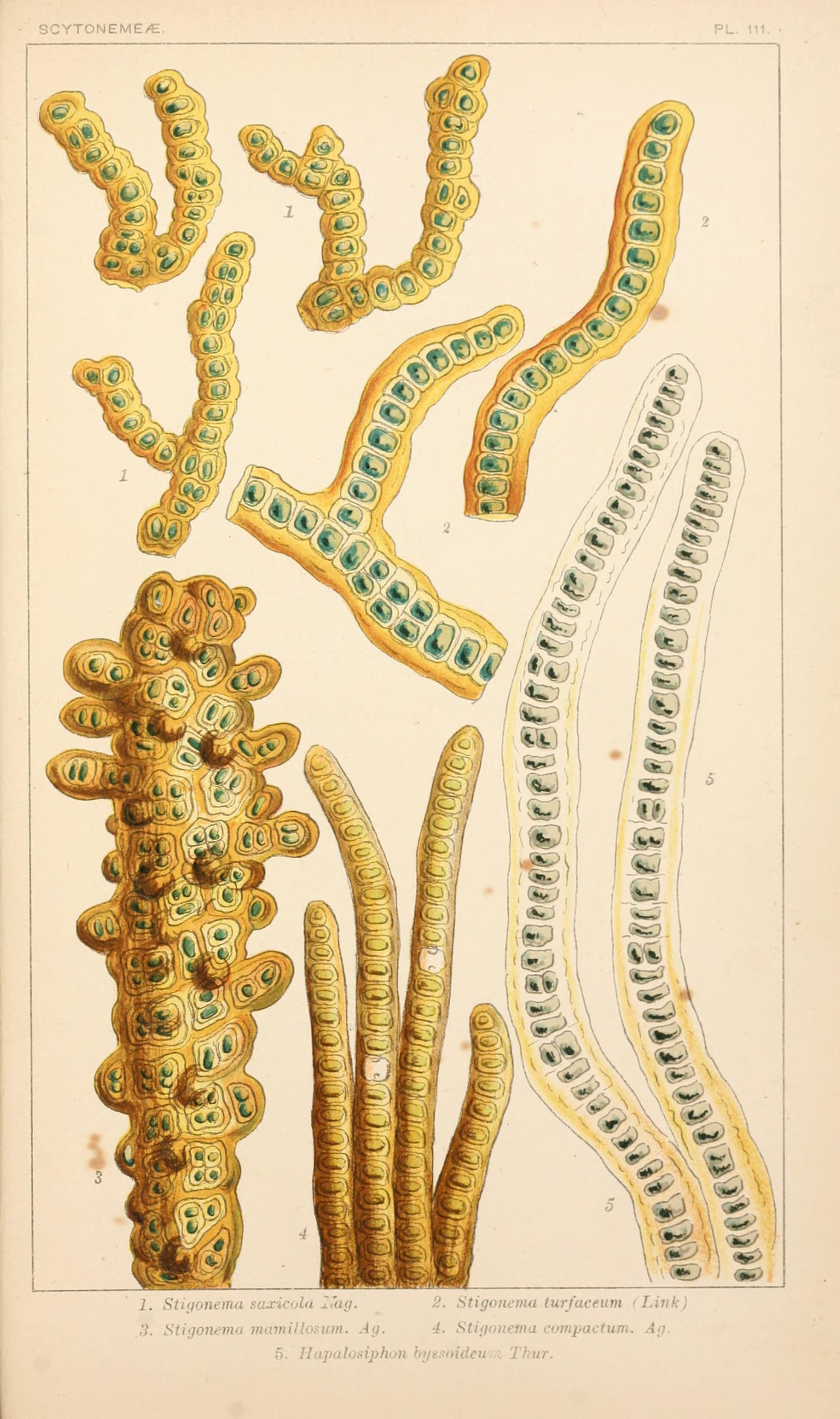 Image of Stigonematales