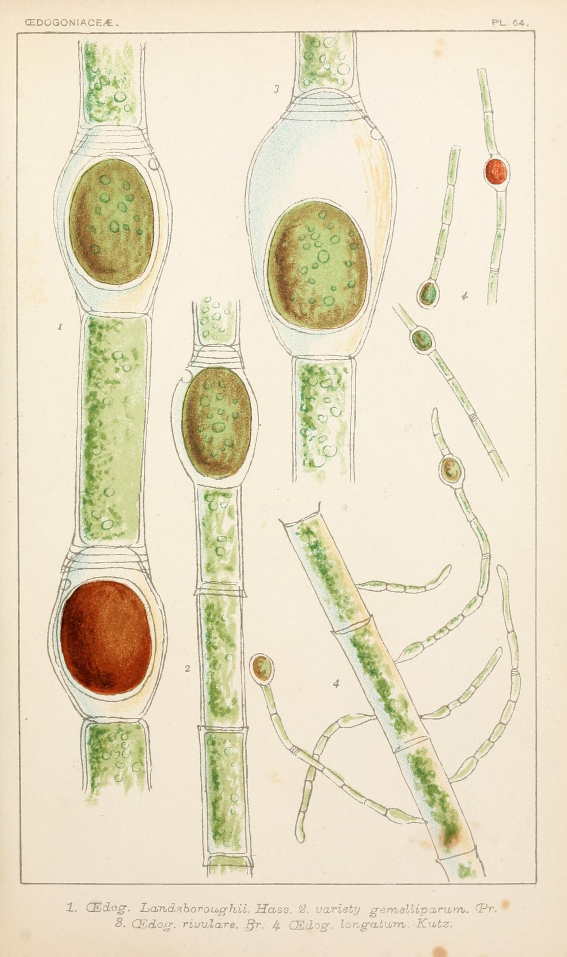 Image of Oedogonium
