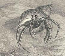 Image of Common Hermit Crab