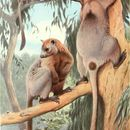 Image of Bennett's Tree Kangaroo