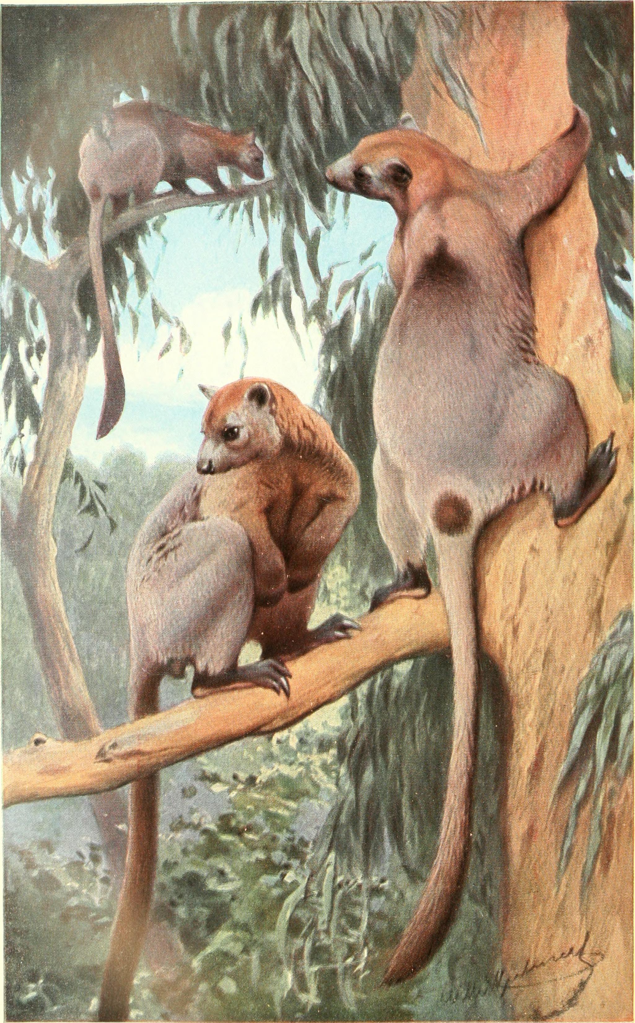 Image of Bennett's tree kangaroo