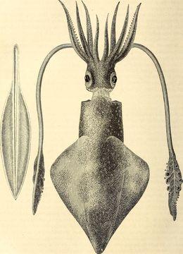 Image of European squid