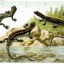 Image of Caucasian Salamander
