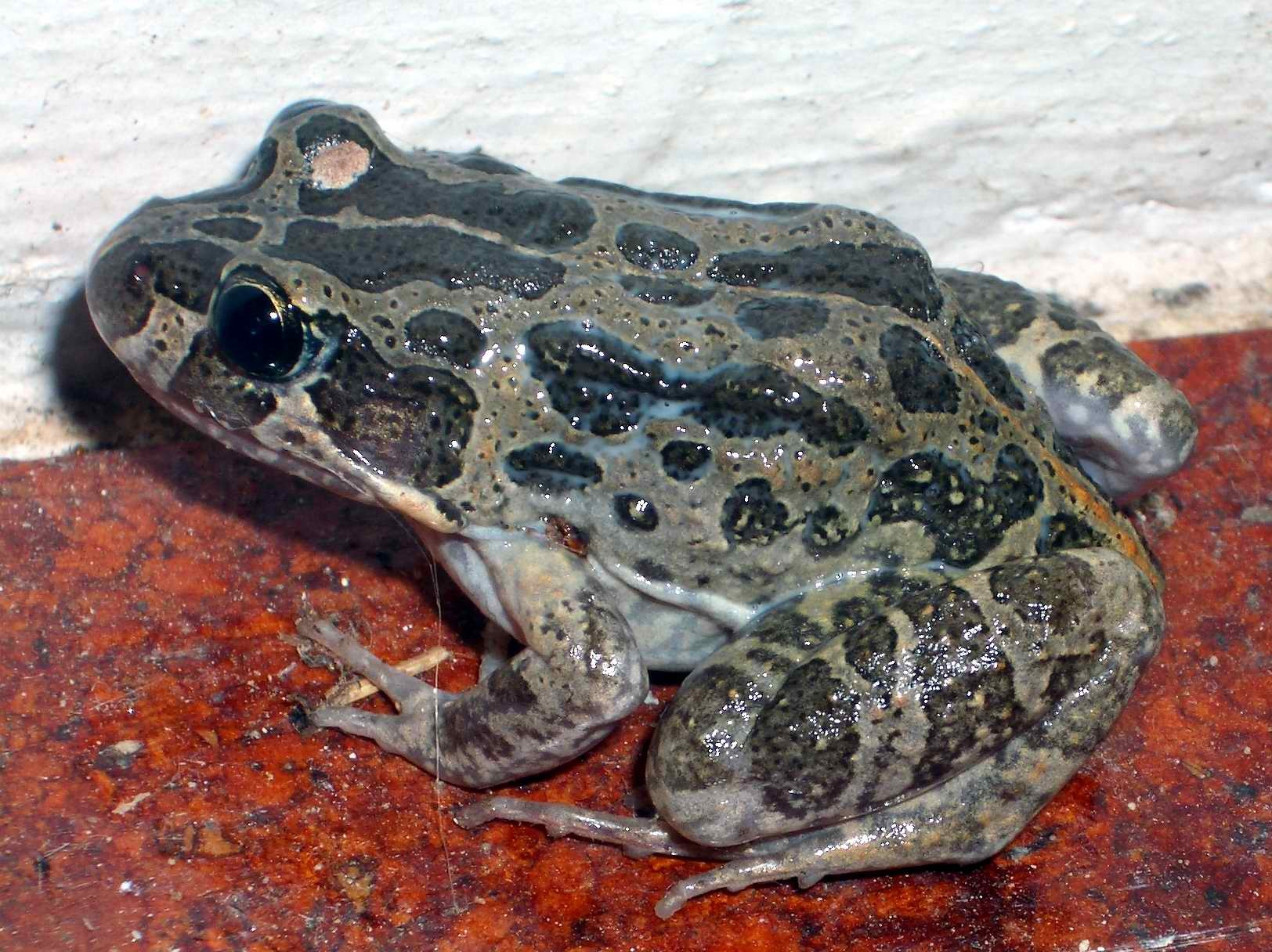 Image of Marbled Frog