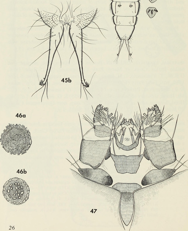 Image of northern caddisflies