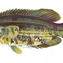 Image of Baillon's Wrasse