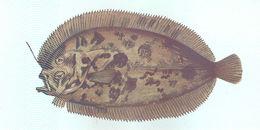 Image of Eckström&;s topknot
