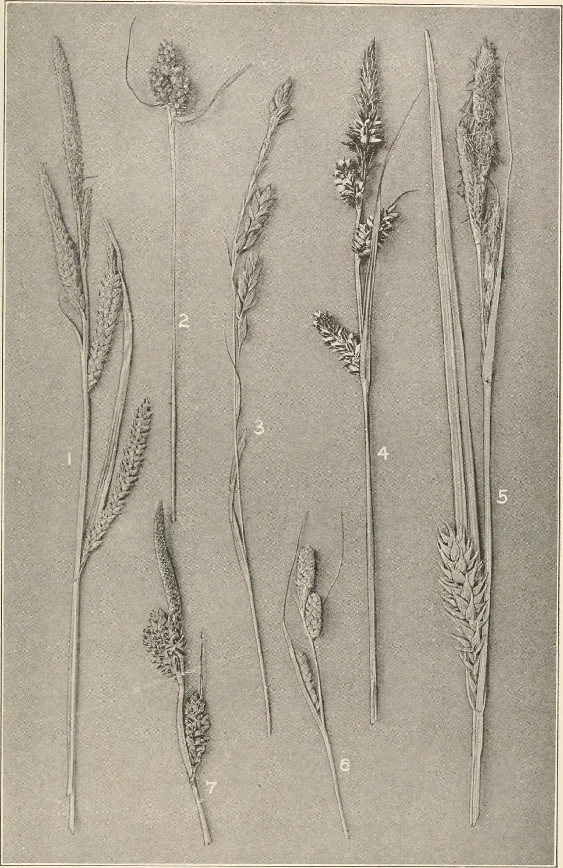 Image of Buxbaum's sedge