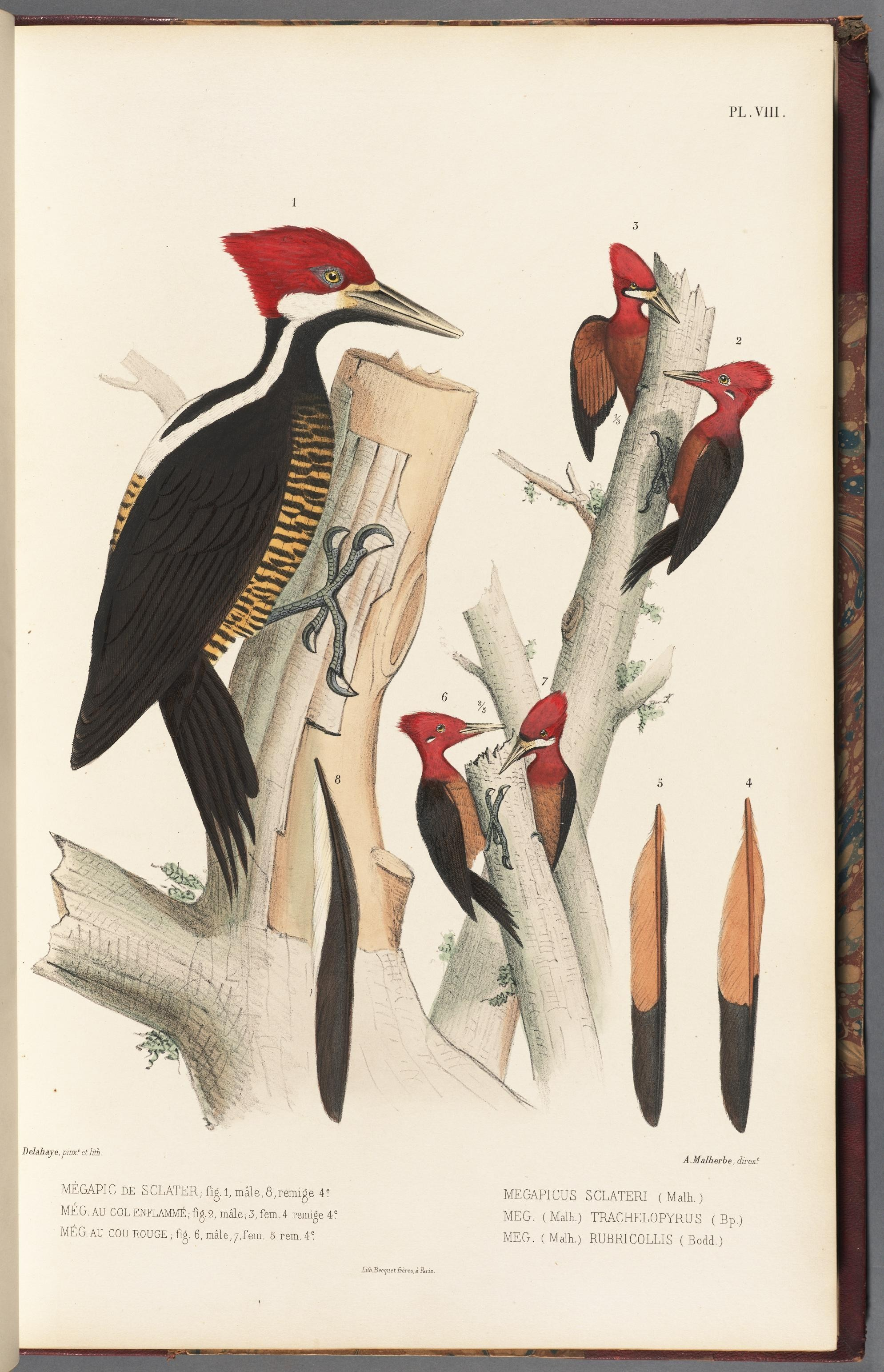 Image of Guayaquil Woodpecker