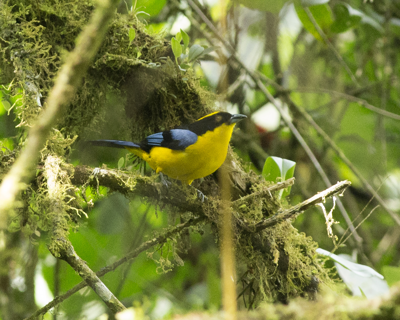 Image of Blue-winged Mountain-Tanager