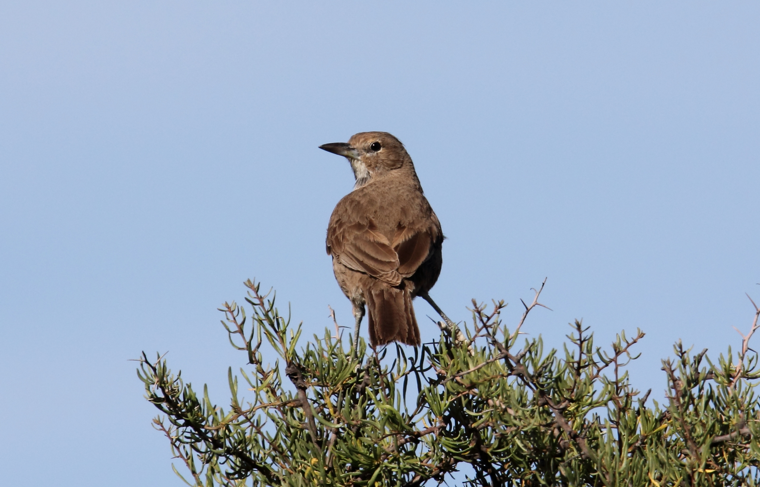 Image of White-throated Cacholote