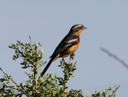 Image of Cinnamon Warbling Finch