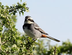 Image of Ringed Warbling Finch