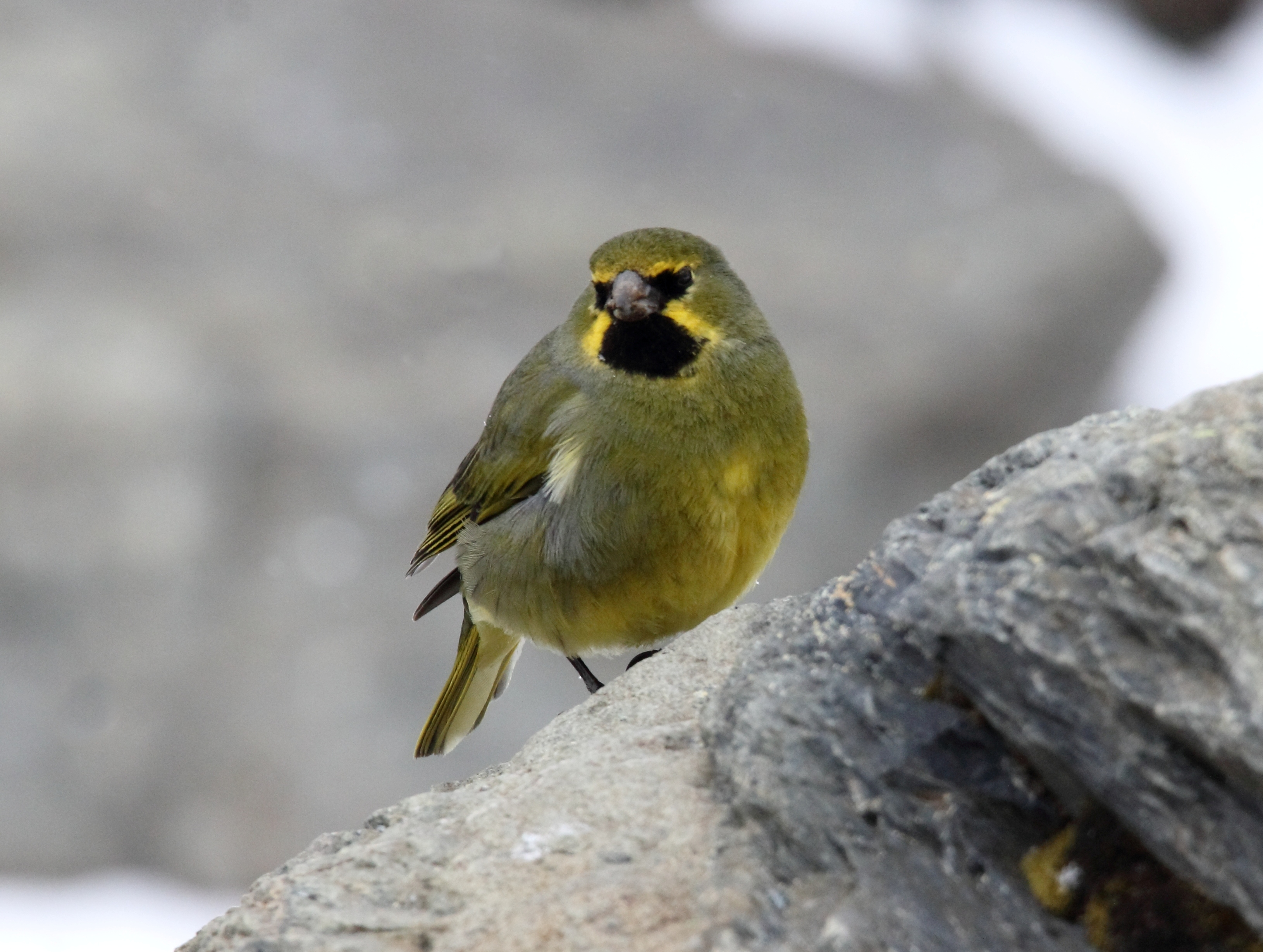 Image of Yellow-bridled Finch