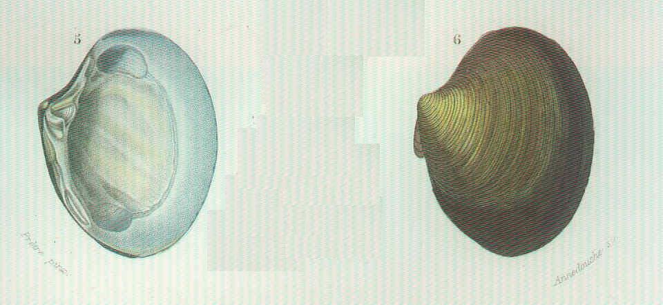 Image of Astarte J. Sowerby 1816
